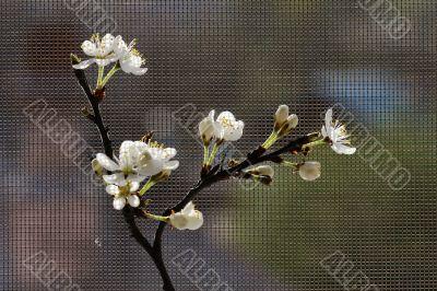 Fruit-tree branch in bloom