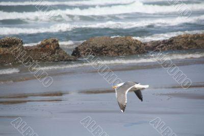 Western gull flying on beach