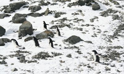 Six young Adelie penguins out for a stroll