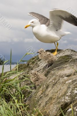 Lesser Black-backed Gull & Chicks