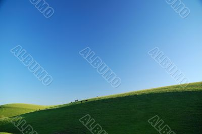 cattle on a sunny hillside