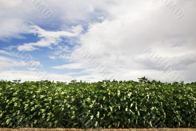 Leafy Crop and Cloudy Sky