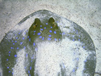Snout of blue-spotted Ray