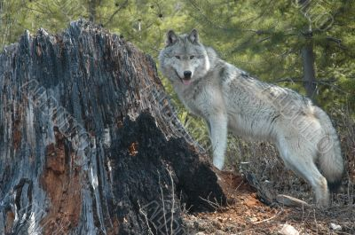 Wolf and Stump