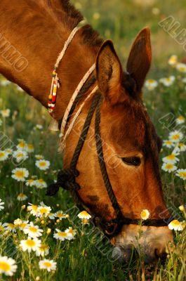 Mule eating