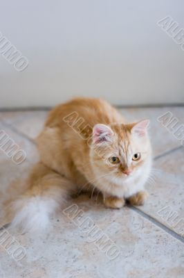 Rufous cat lying on ceramic tile floor and look forward #1