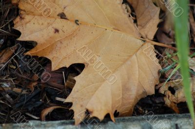 Dried Maple Leaf in Fall