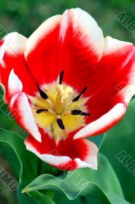 Tulip Red White Flower in Bloom