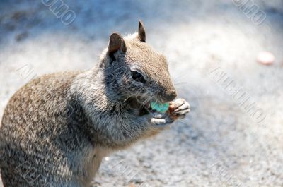 Squirrel eating Candy