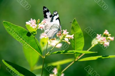 Butterfly collecting nectar