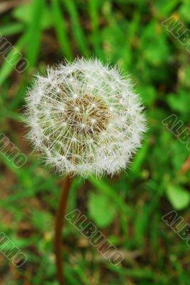 Dandelion Flower Seed Head