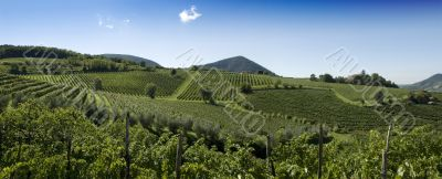 Italian Vineyards Panorama