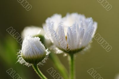 Dew-drop on the chamomile bud
