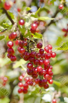 Bunch of red currant macro shot
