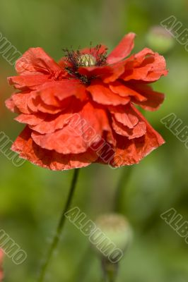 Beautiful single red poppy