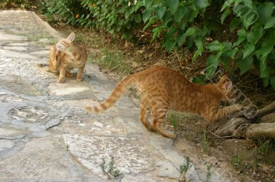 Two busy red cats outside