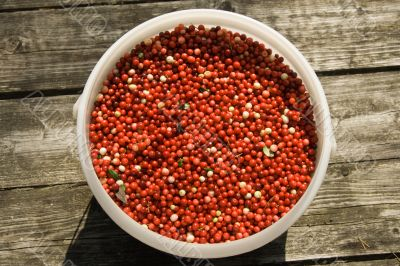 Full bucket of a red cowberry