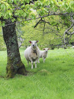 Sheep an lamb
