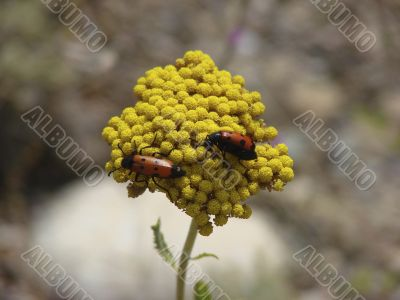 Two red bugs sit on a yellow flower