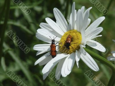 On a camomile red bugs sit