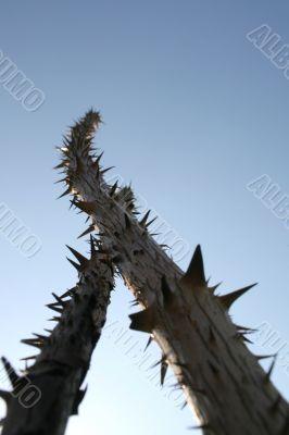 Sticks with big thorns