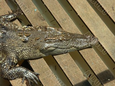 crocodile farm on Cambodia lake