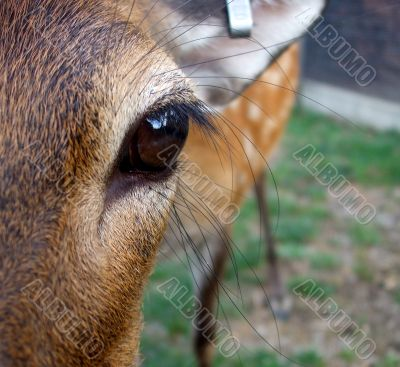 A Young Doe`s Eye