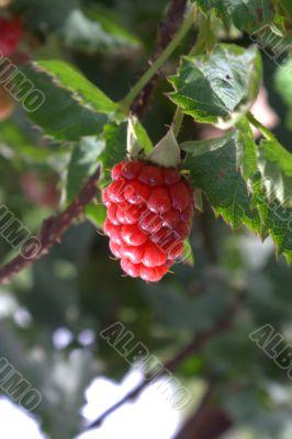 Raspberry on a bush