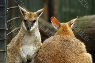 kangaroos in zoo