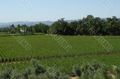 Californian vineyard