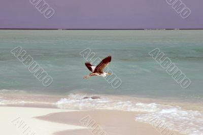 Seagull on a Maldivian island beach