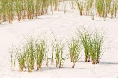 Ammophila arenaria grass on a dune