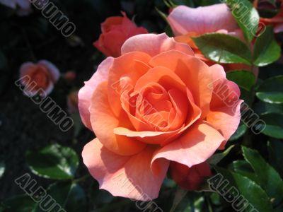 the innocent peach rose