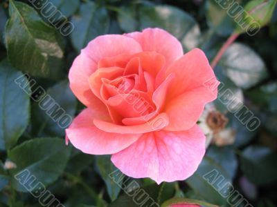 tender passion of summer - rose
