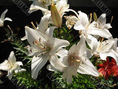 rich white lilies