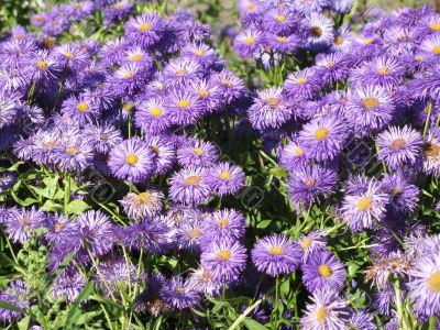 wonderful lilac flowerbed