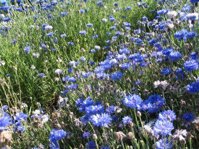 rich field of cornflower