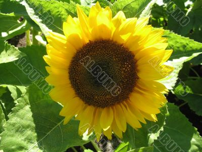 joyful bright sunflower