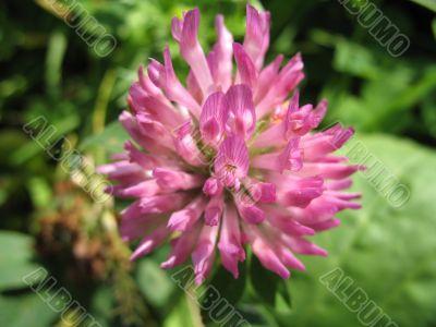 lovely flower of hop-clover