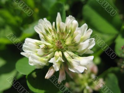 pure white flower of hop-clover