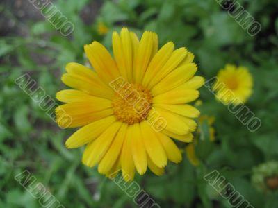 flower of yellow herb - calendula