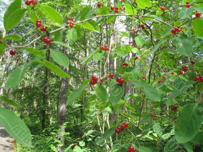wild red berry bush in the forest
