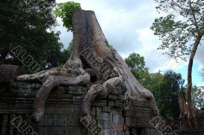 Tree growing over Angkor Wat, Cambodia