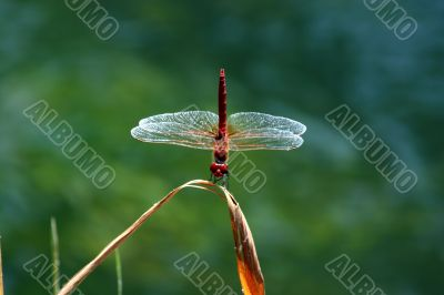 Red dragonfly on a stem