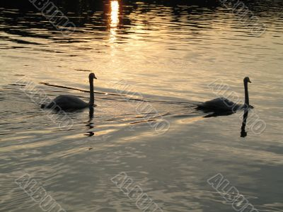touching scene of two swans floating in the lake