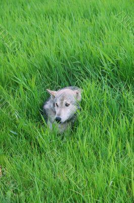 Rocky mountain Grey Wolf
