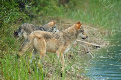Rocky Mountain Grey Wolves