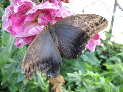 a butterfly drinking nectar