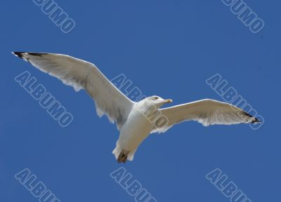 The seagull flying in the blue sky