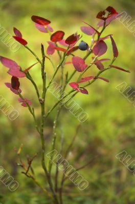 Bush of a bilberry with red leaves